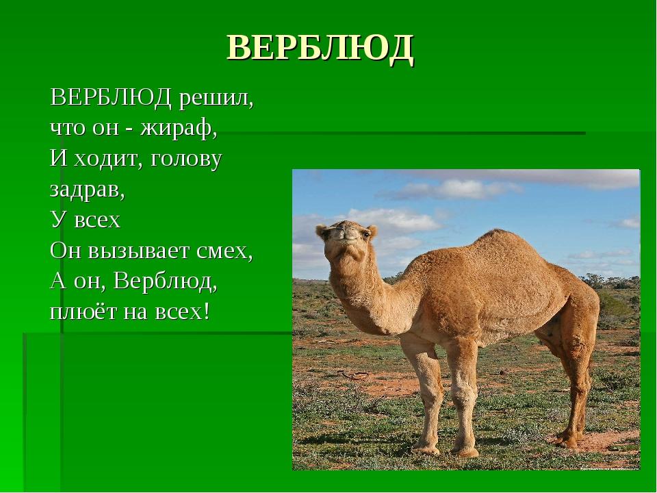 ВЕРБЛЮД ВЕРБЛЮД решил, что он - жираф, И ходит, голову задрав, У всех Он вызы...
