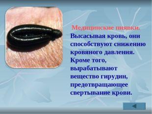 Медицинские пиявки. Высасывая кровь, они способствуют снижению кровяного дав