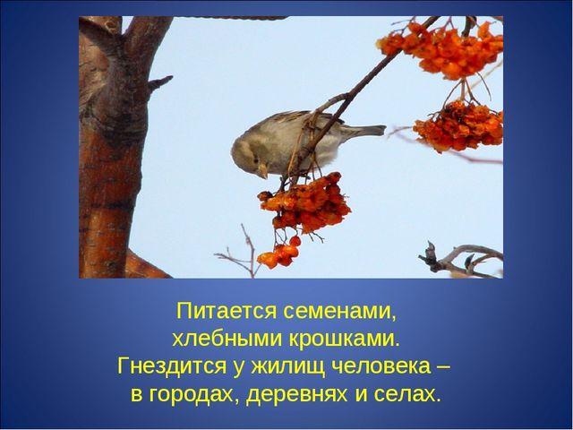 Питается семенами, хлебными крошками. Гнездится у жилищ человека – в городах...