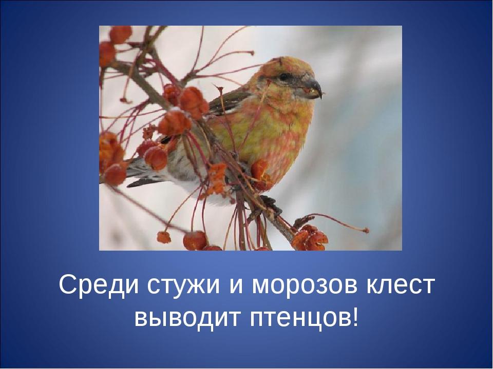 Среди стужи и морозов клест выводит птенцов!