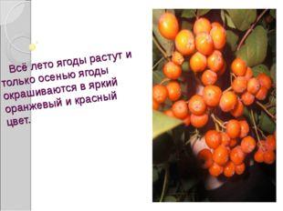Всё лето ягоды растут и только осенью ягоды окрашиваются в яркий оранжевый и