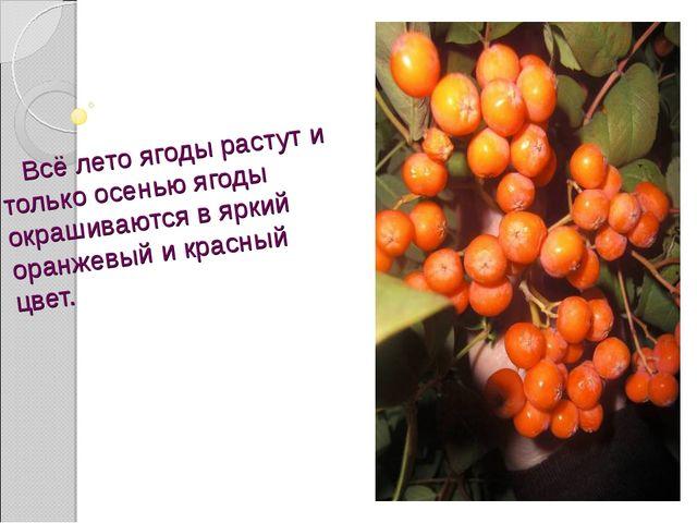 Всё лето ягоды растут и только осенью ягоды окрашиваются в яркий оранжевый и...