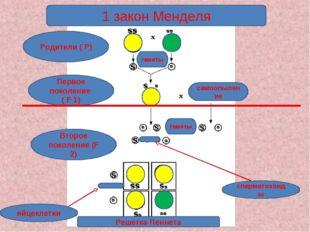 1 закон Менделя Родители ( Р) Первое поколение ( F 1) Второе поколение (F 2)