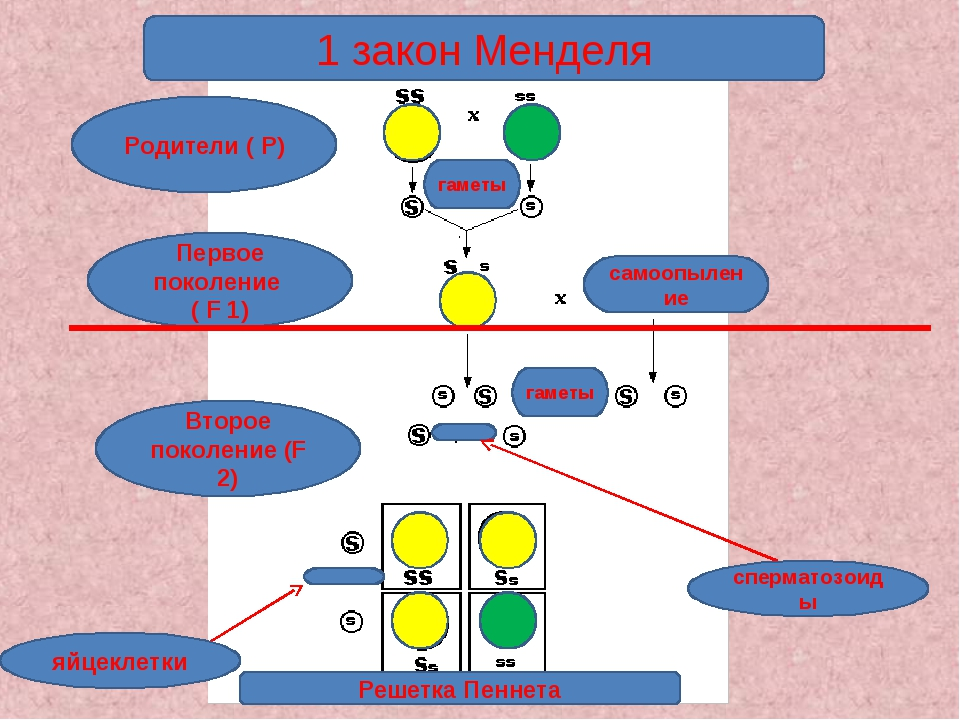 1 закон Менделя Родители ( Р) Первое поколение ( F 1) Второе поколение (F 2)...