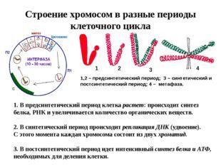 Строение хромосом в разные периоды клеточного цикла 1 2 3 4 1,2 – предсинтети