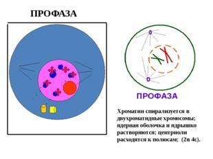 ПРОФАЗА Хроматин спирализуется в двухроматидные хромосомы; ядерная оболочка
