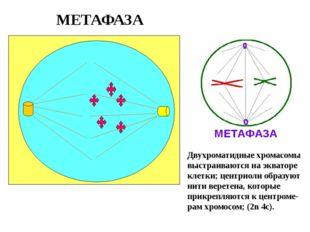 МЕТАФАЗА Двухроматидные хромасомы выстраиваются на экваторе клетки; центриоли