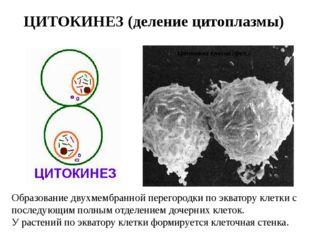 ЦИТОКИНЕЗ (деление цитоплазмы) Образование двухмембранной перегородки по эква