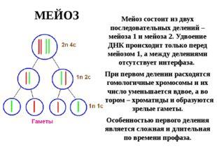 МЕЙОЗ Мейоз состоит из двух последовательных делений – мейоза 1 и мейоза 2. У