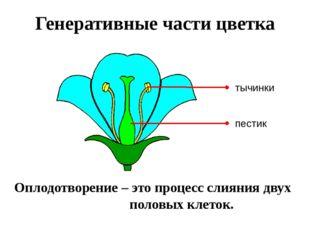 Генеративные части цветка Оплодотворение – это процесс слияния двух половых к