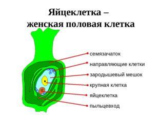 Яйцеклетка – женская половая клетка семязачаток пыльцевход зародышевый мешок