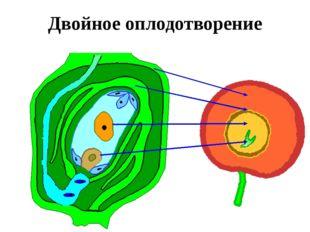 Двойное оплодотворение Когда пыльцевая трубка достигает зародышевого мешка, т