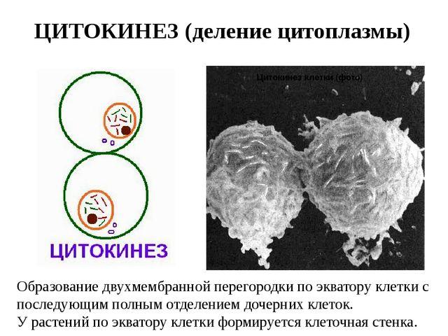 ЦИТОКИНЕЗ (деление цитоплазмы) Образование двухмембранной перегородки по эква...