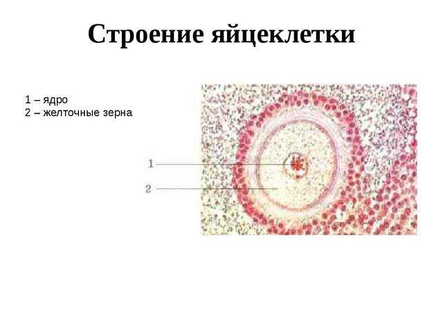 Строение яйцеклетки 1 – ядро 2 – желточные зерна Строение яйцеклетки Яйцеклет...