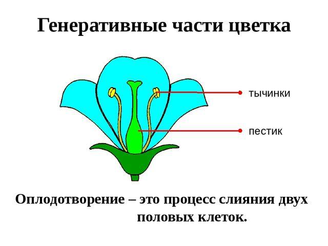 Генеративные части цветка Оплодотворение – это процесс слияния двух половых к...