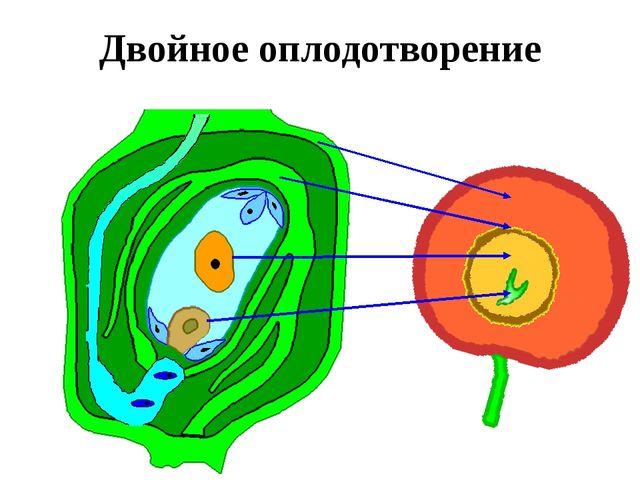Двойное оплодотворение Когда пыльцевая трубка достигает зародышевого мешка, т...
