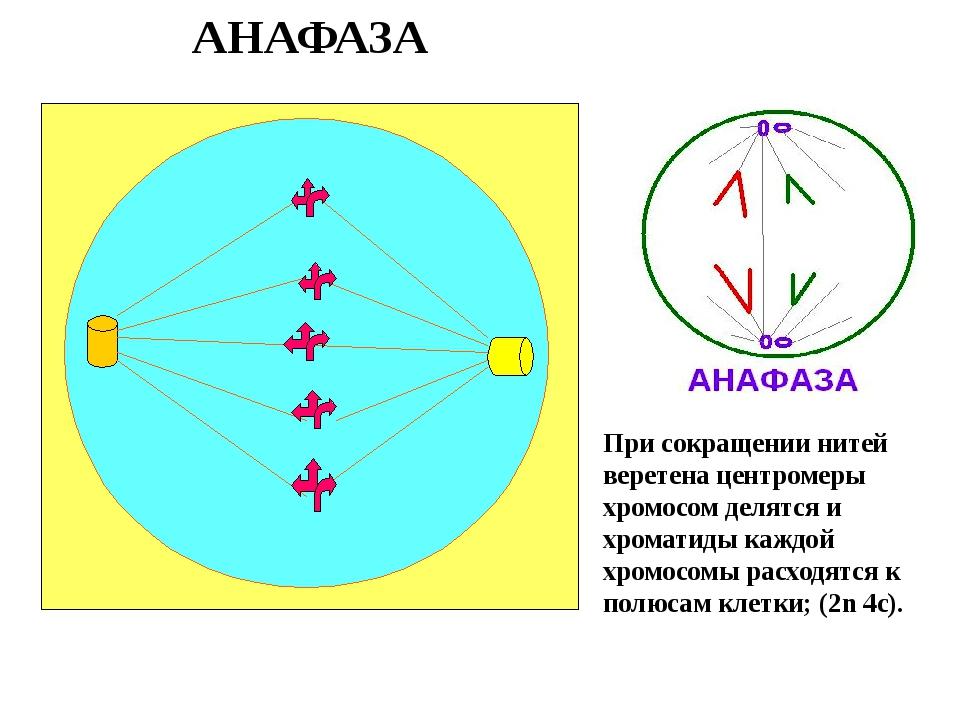 АНАФАЗА При сокращении нитей веретена центромеры хромосом делятся и хроматиды...