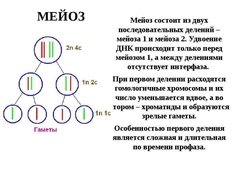 МЕЙОЗ Мейоз состоит из двух последовательных делений – мейоза 1 и мейоза 2. У...