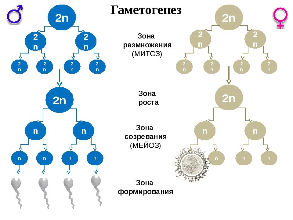 2n n n n n n n Зона размножения (МИТОЗ) Зона роста Зона созревания (МЕЙОЗ) Зо...