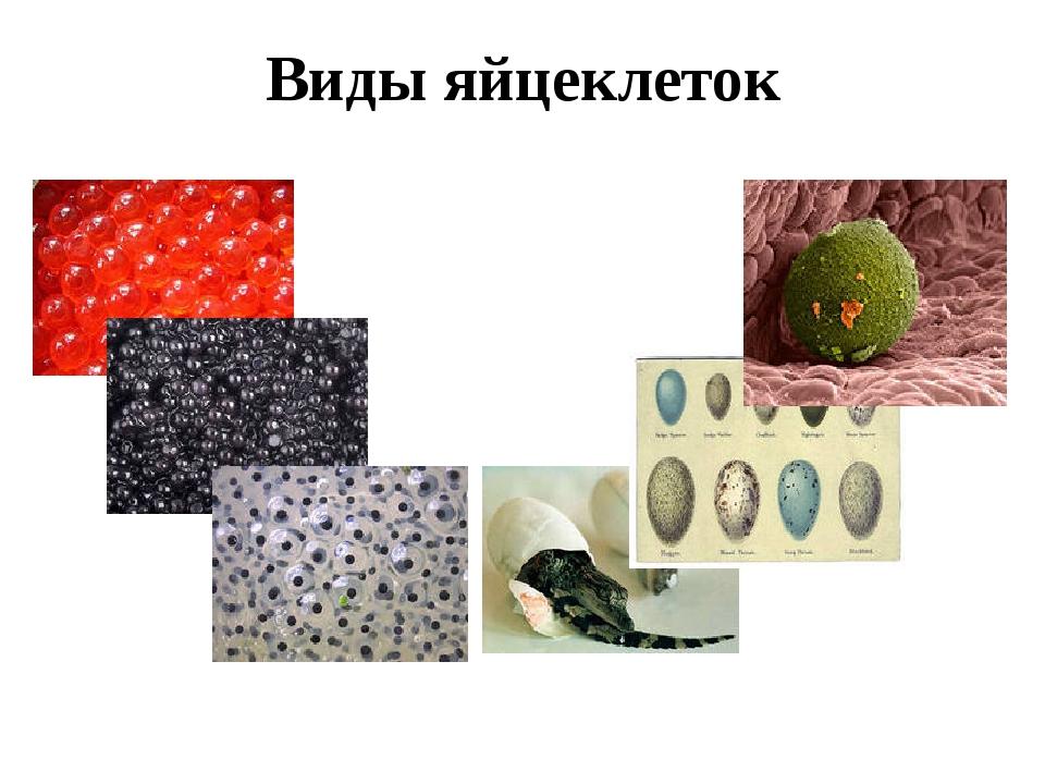 Виды яйцеклеток 1 – лосось 2 – осетр 3 – лягушка 4 – крокодил 5 – птицы 6 - ч...