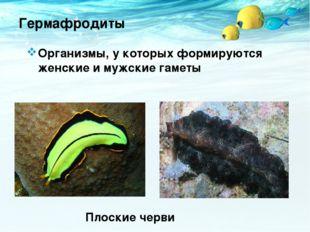 Гермафродиты Организмы, у которых формируются женские и мужские гаметы Плоски