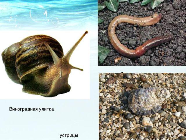 Виноградная улитка Дождевой червь устрицы