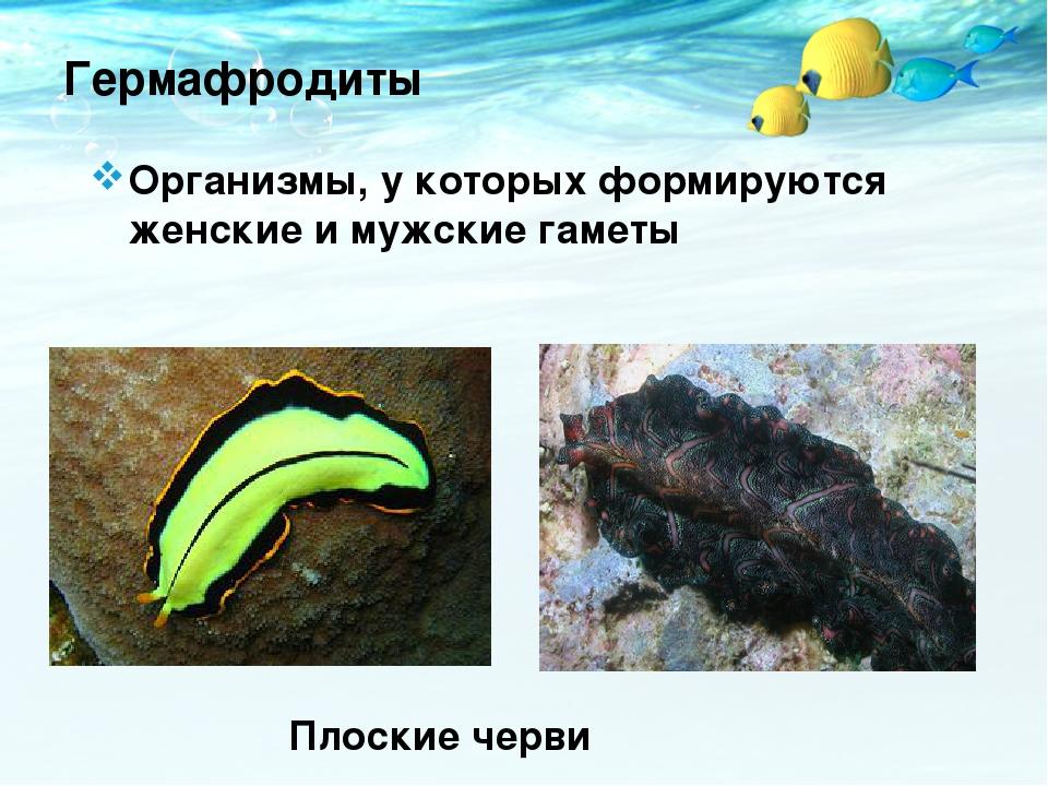 Гермафродиты Организмы, у которых формируются женские и мужские гаметы Плоски...