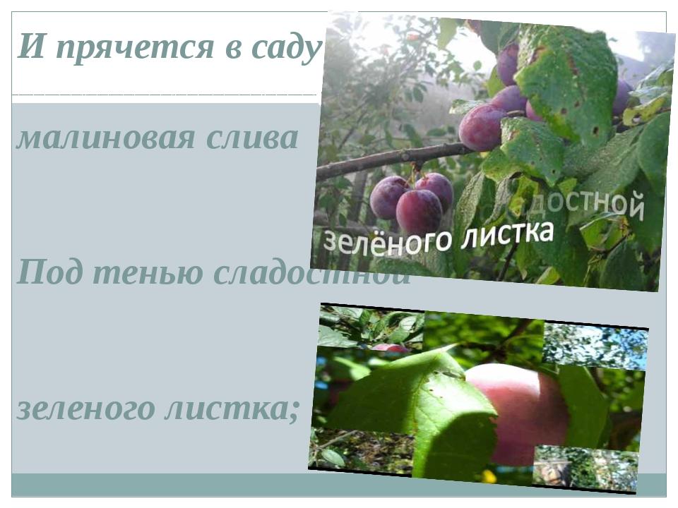 И прячется в саду малиновая слива Под тенью сладостной зеленого листка;
