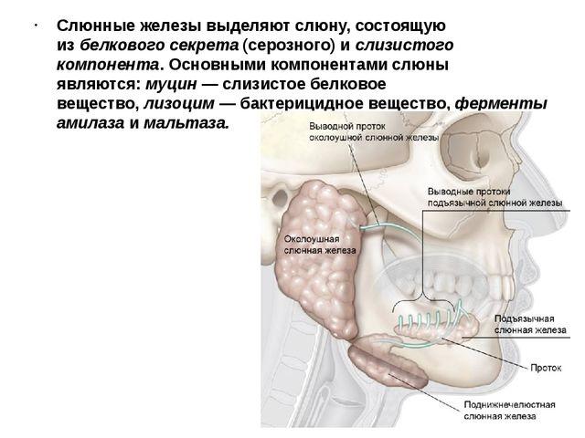 Слюнные железы выделяют слюну, состоящую избелкового секрета(серозного) ис...