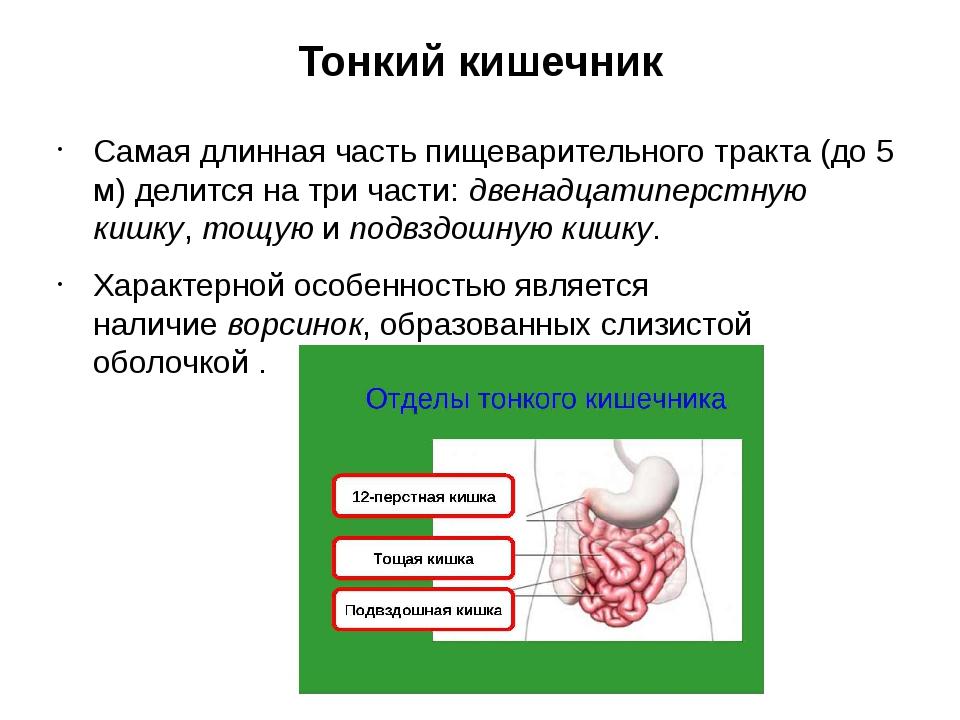 Тонкий кишечник Самая длинная часть пищеварительного тракта (до5 м) делится...