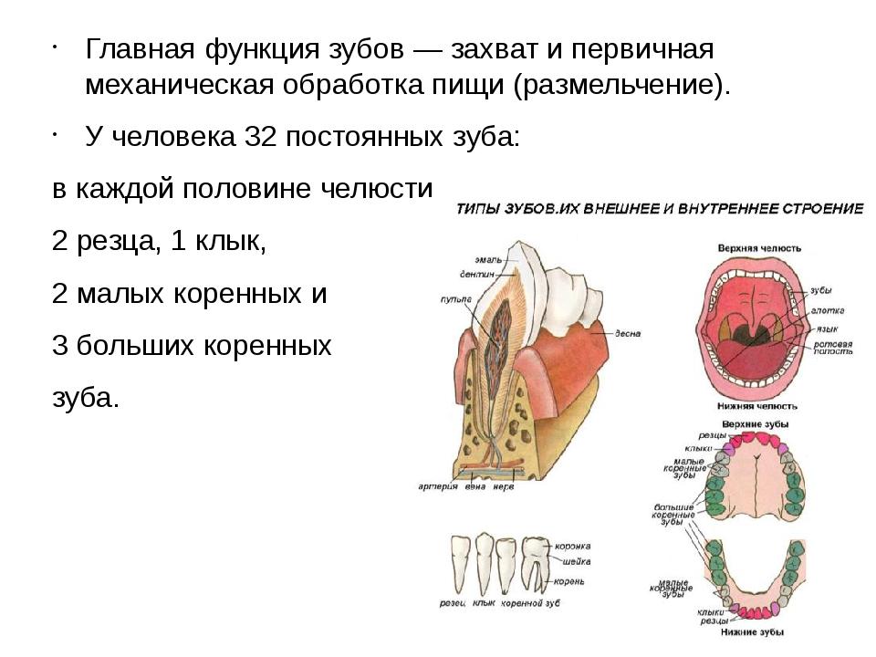 Главная функция зубов — захват и первичная механическая обработка пищи (разме...