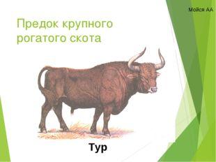 Предок крупного рогатого скота Тур Мойся АА
