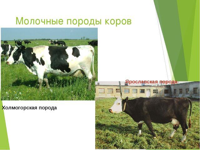 Молочные породы коров Ярославская порода Холмогорская порода