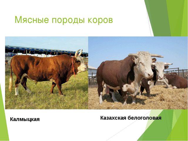 Мясные породы коров Казахская белоголовая Калмыцкая