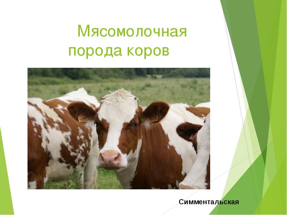 Мясомолочная порода коров Симментальская