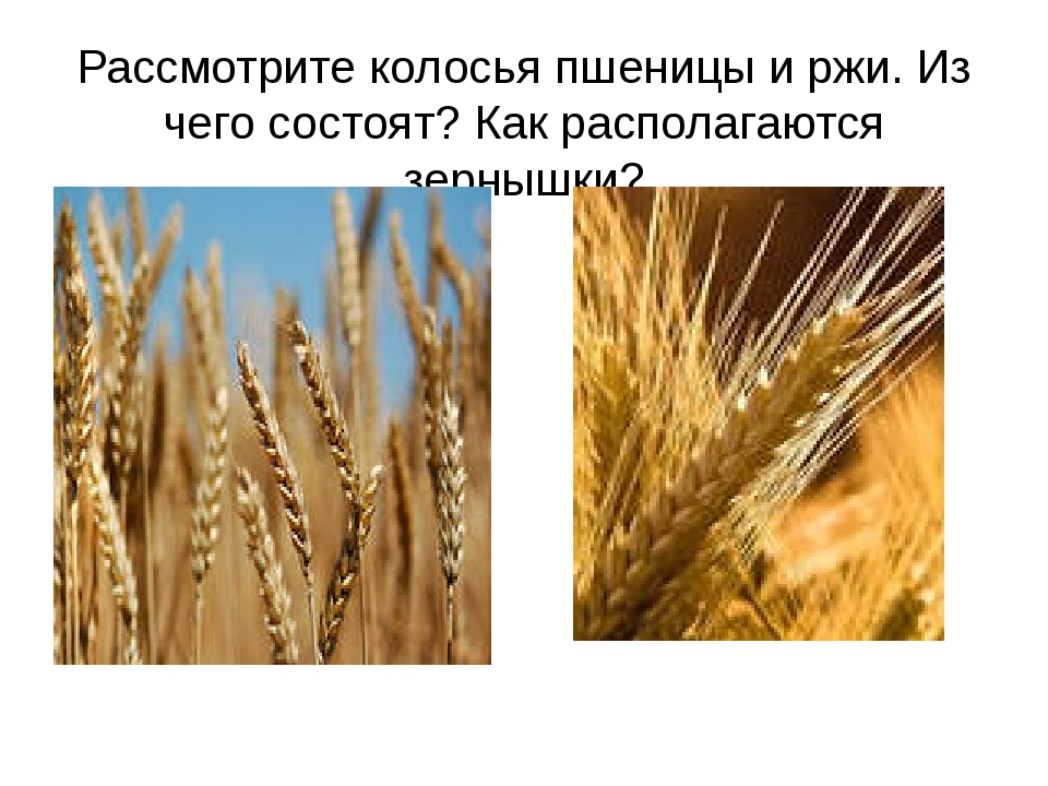 Рассмотрите колосья пшеницы и ржи. Из чего состоят? Как располагаются зернышки?