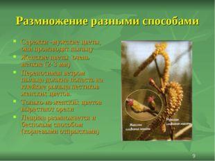 Размножение разными способами Сережки -мужские цветы, они производят пыльцу Ж