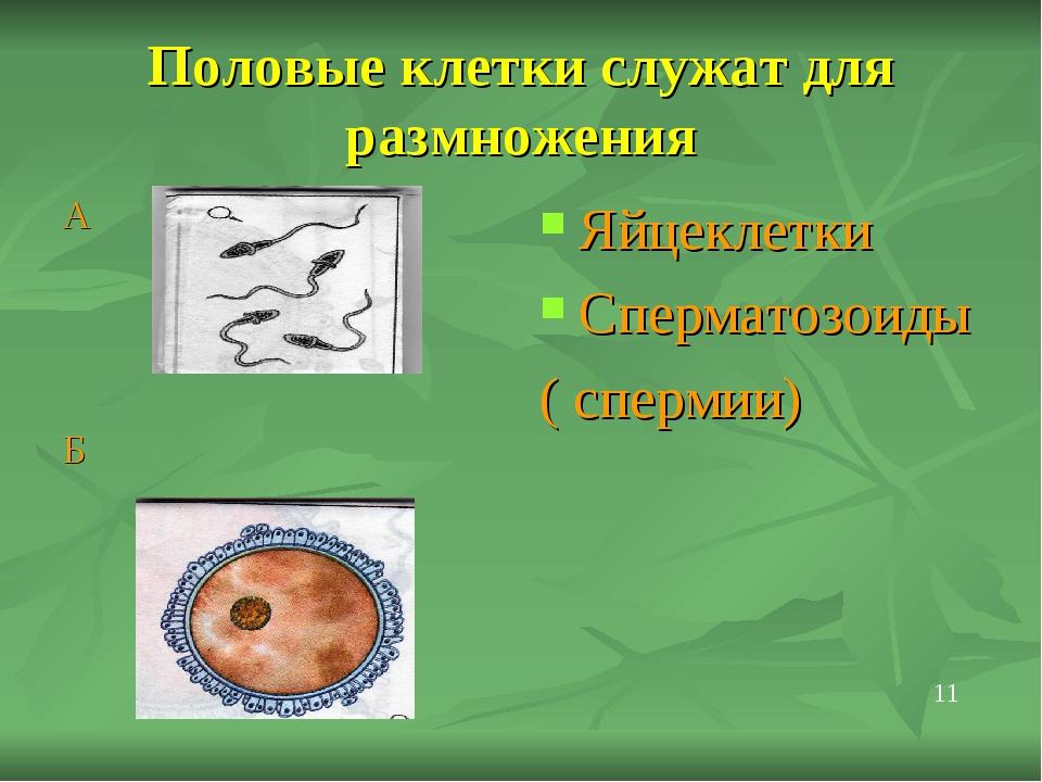 Половые клетки служат для размножения А Б Яйцеклетки Сперматозоиды ( спермии)...