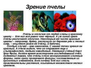 Зрение пчелы Пчёлы в отличие от людей слепы к красному цвету – для них всё ра