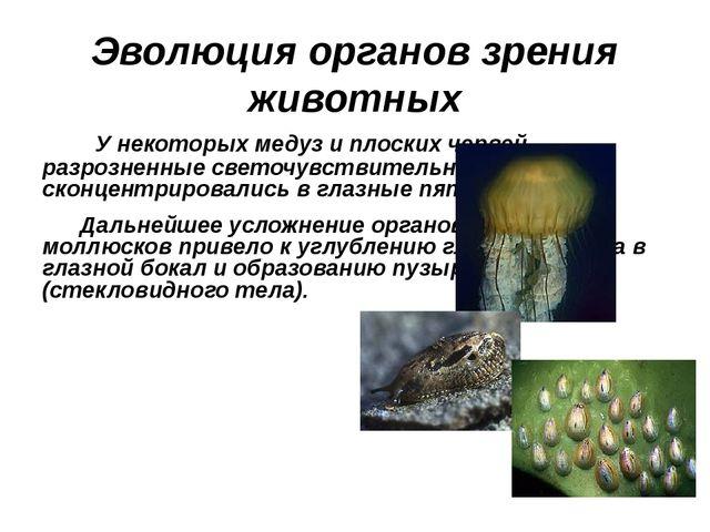 Эволюция органов зрения животных У некоторых медуз и плоских червей разрознен...
