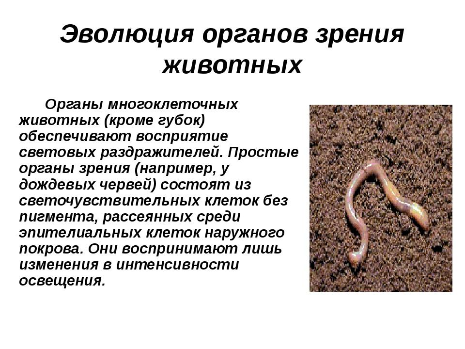 Эволюция органов зрения животных Органы многоклеточных животных (кроме губок)...