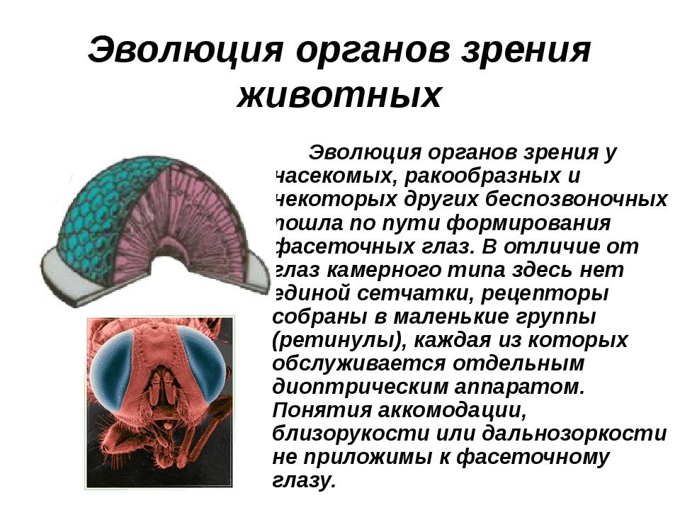 Эволюция органов зрения животных Эволюция органов зрения у насекомых, ракообр...