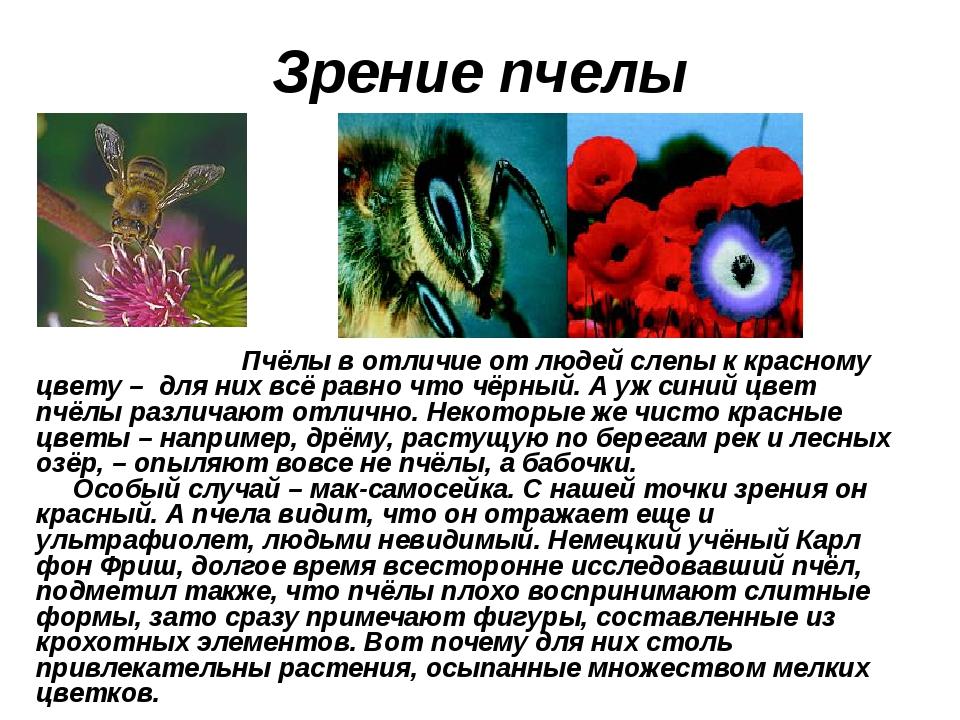 Зрение пчелы Пчёлы в отличие от людей слепы к красному цвету – для них всё ра...