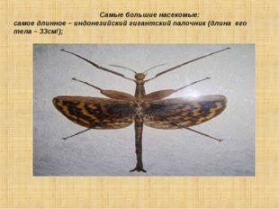 Самые большие насекомые: самое длинное – индонезийский гигантский палочник (