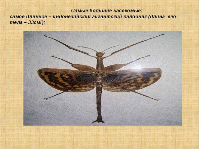 Самые большие насекомые: самое длинное – индонезийский гигантский палочник (...
