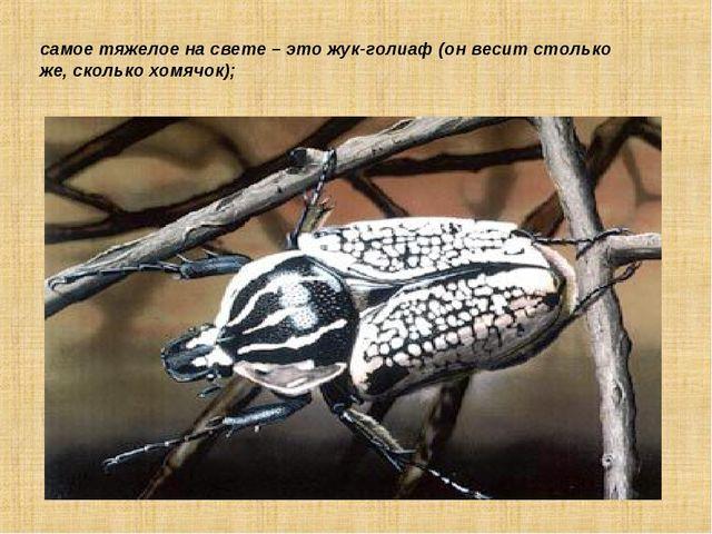 самое тяжелое на свете – это жук-голиаф (он весит столько же, сколько хомячок);