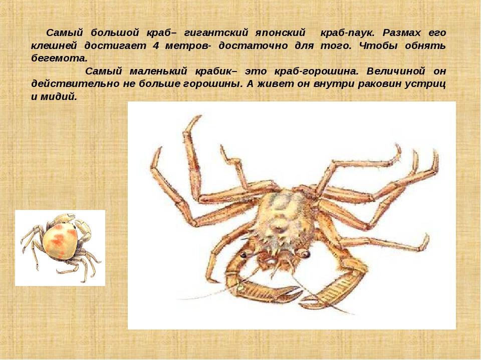 Самый большой краб– гигантский японский краб-паук. Размах его клешней достиг...