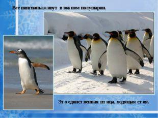 Все пингвины живут в южном полушарии. Это единственная птица, ходящая стоя.