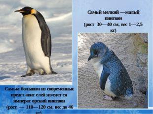 Самым большим из современных представителей является императорский пингвин (р