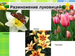Размножение луковицей Нарцисс Тюльпан Лилия